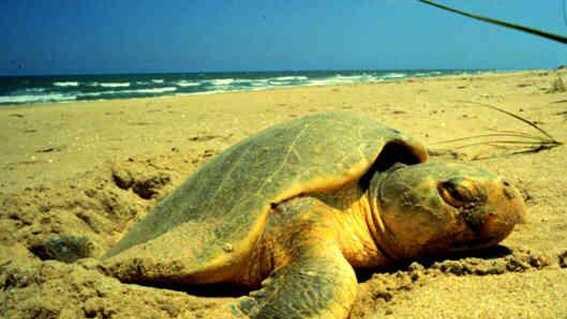 Kemp's ridley sea turtle nc-es.fws.gov.jpg
