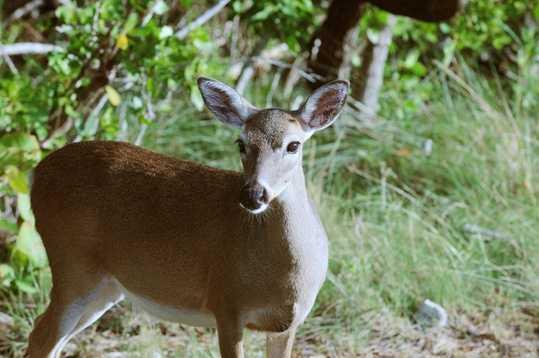 Key deer - ENDANGERED