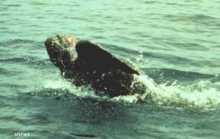 Leatherback sea turtle - ENDANGERED