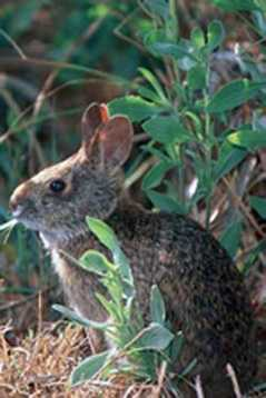 Lower Keys marsh rabbit - ENDANGERED