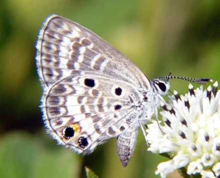 Miami blue butterfly - ENDANGERED