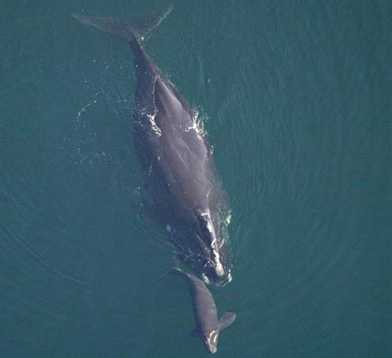 North Atlantic right whale - ENDANGERED