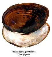 Oval pigtoe - THREATENED
