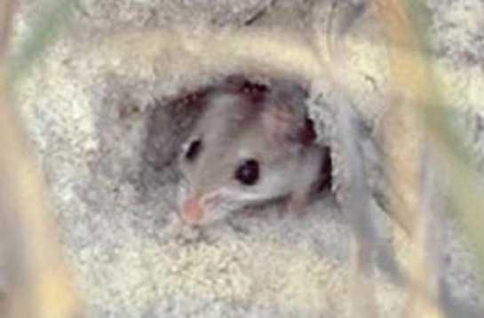 Perdido Key beach mouse - ENDANGERED