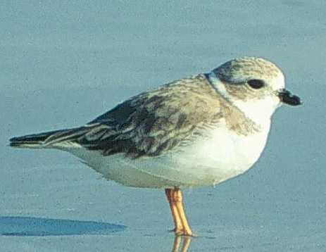 Piping plover - THREATENED