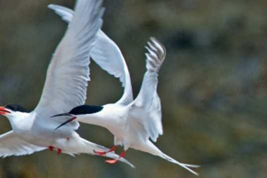 Roseate tern - THREATENED