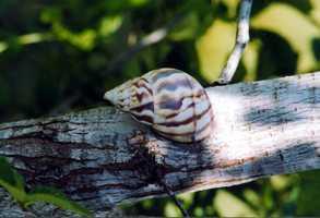 Stock Island tree snail - THREATENED