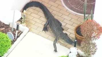 Gator is home: A gator walks right up to a woman's doorstep. Chopper 2 follows the as it saunters across the woman's Volusia County property. Watch the video.