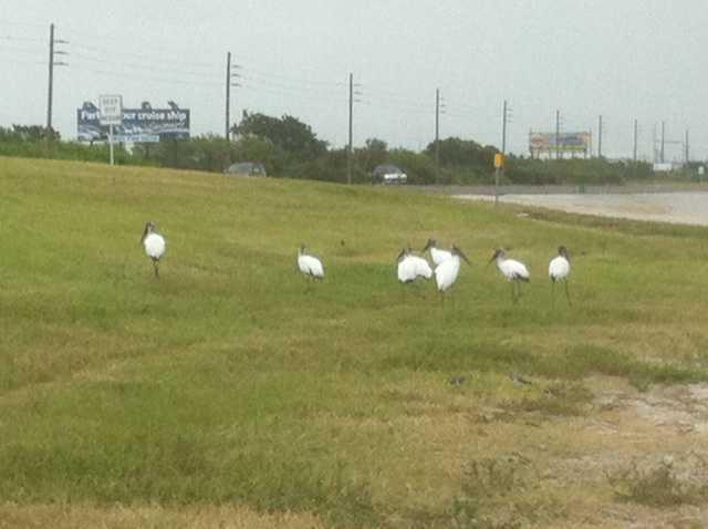 Storks look for shelter along a causeway near Merritt Island.