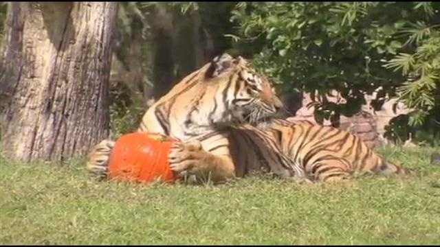Animals at Disney's Animal Kingdom received an annual treat -- pumpkins.