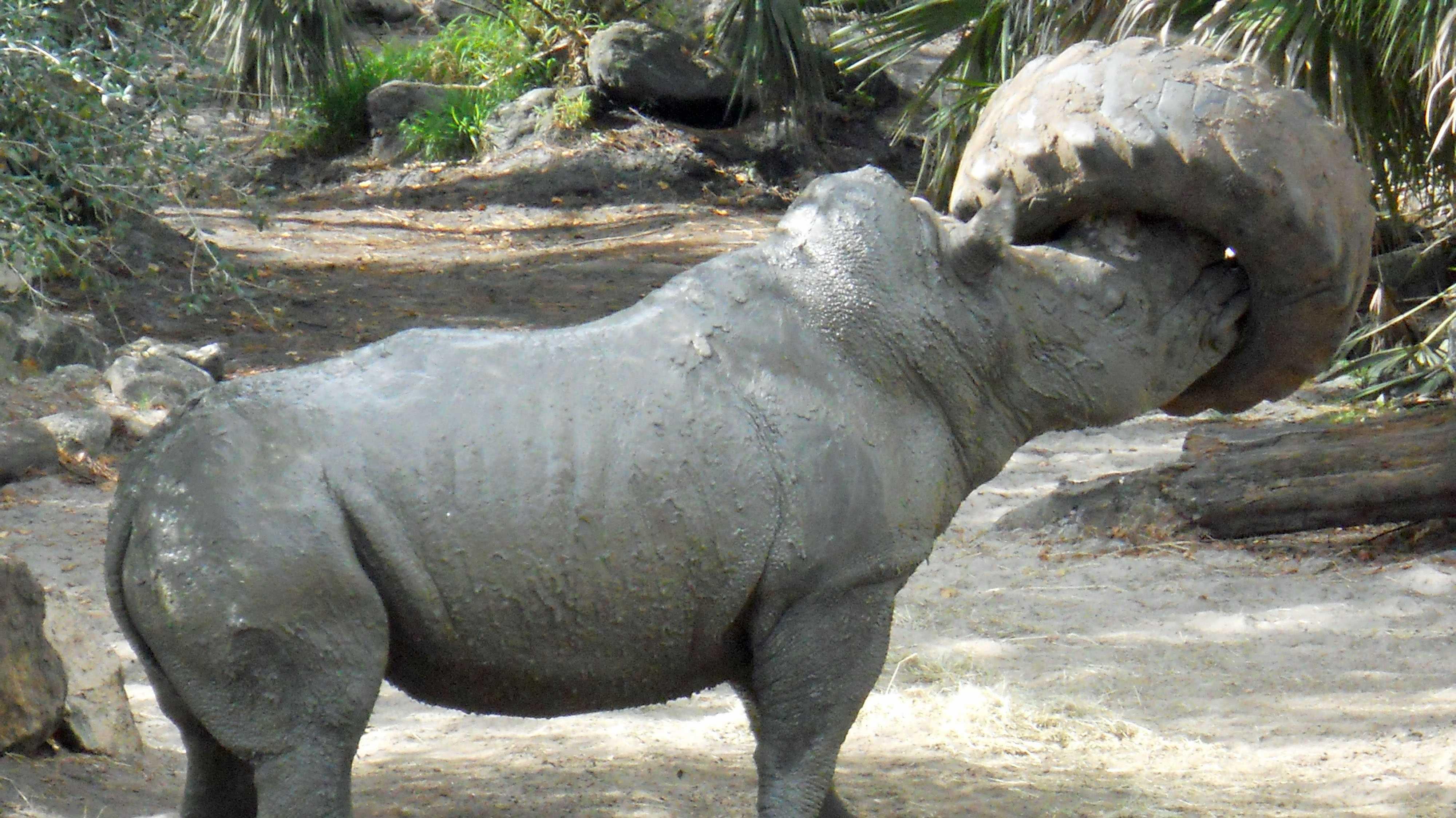 Max the Rhino 2