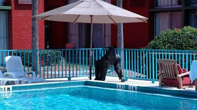 This gorilla remains at the hotel, but his friend on the other side of the pool is missing.