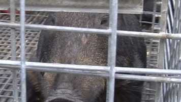 """The hogs """"can be very aggressive,"""" confirmed wildlife trapper James Dean. He has caught five of the animals, and estimates there are 20 more in the rapidly multiplying herd."""