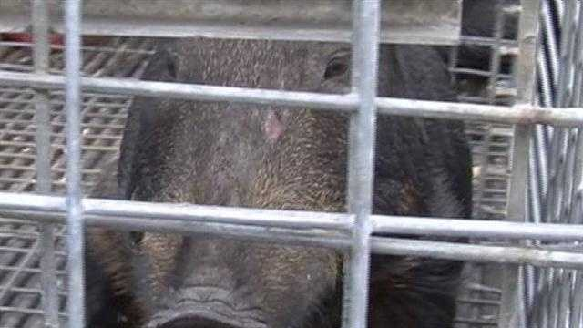 "The hogs ""can be very aggressive,"" confirmed wildlife trapper James Dean. He has caught five of the animals, and estimates there are 20 more in the rapidly multiplying herd."