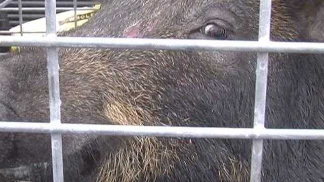 Wild hogs are making life unpleasant for people in a Melbourne neighborhood that includes two nursing homes.