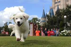 """Canine stars from Disney's new holiday DVD and Blu-ray film, """"Santa Paws 2: The Santa Pups,"""" take a stroll in the Magic Kingdom park."""