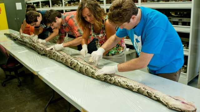 Python Florida study