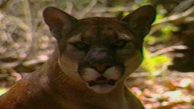 The Florida Fish and Wildlife Conservation Commission is investigating the death of a Florida panther near Christmas.