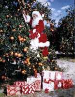 1965: Santa Claus gathers oranges.