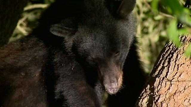 Bear Makes Home In Lake Mary