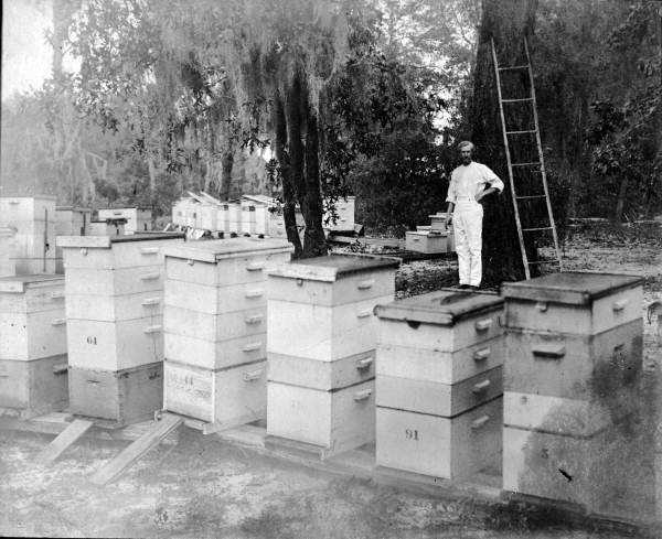 1924: Harry Hewitt stands with his bee hives in Apopka.