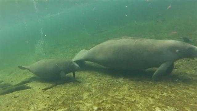 Warmer water helping manatees