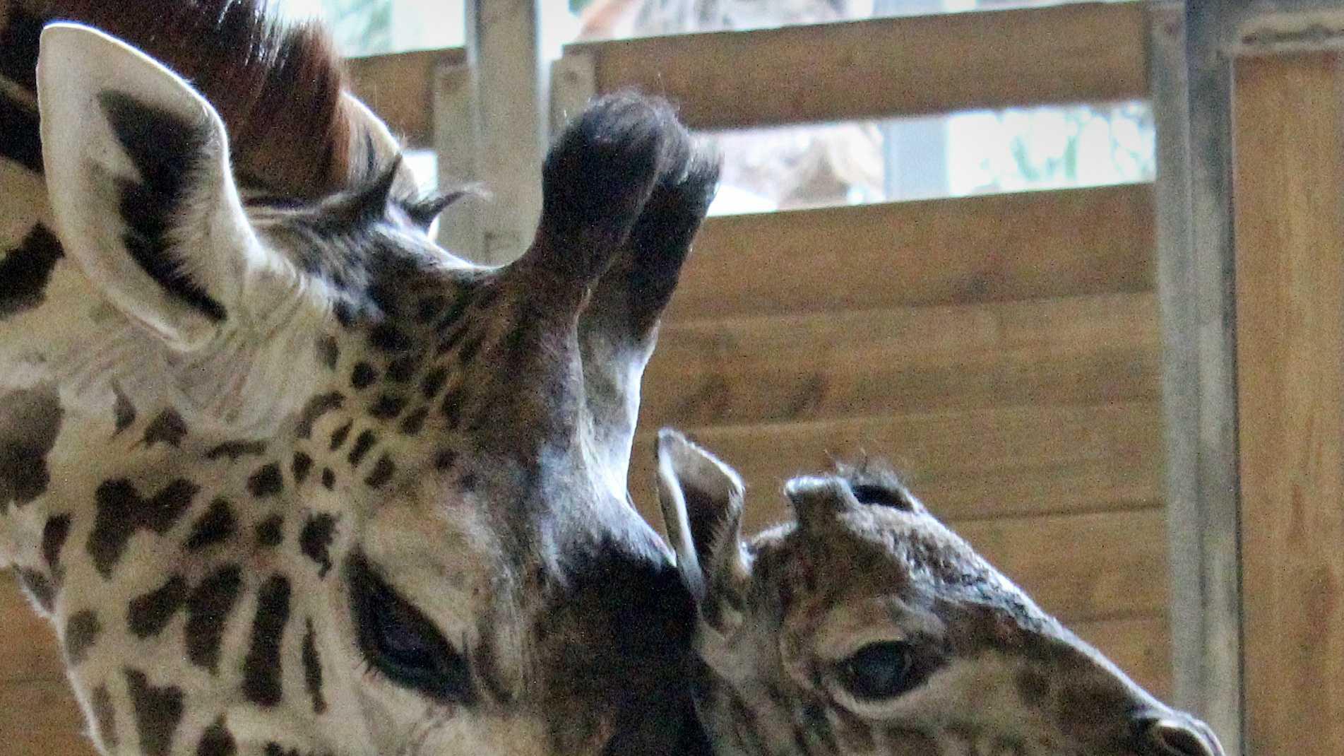 Giraffe and calf.jpg