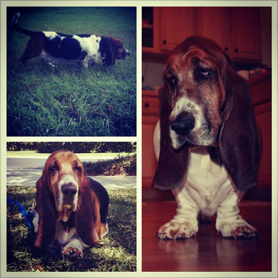Jason and his wife consider their Basset Hound named Tanner to be their first baby. He's 4 years old. Jason takes Tanner to a local dog park nearly every weekend.