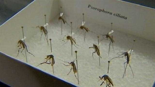 Large mosquito could be a problem come rainy season