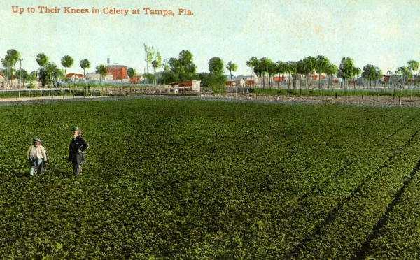 A celery field near Tampa.