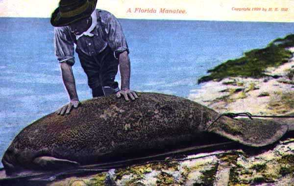 The Florida manatee in 1909.