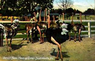 Send your friends this postcard from an Ostrich Farm near Jacksonville.  This postcard was dated 1910.