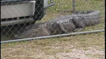 The decision was made to kill the gator, but an M-16 bullet didn't seem to faze it.