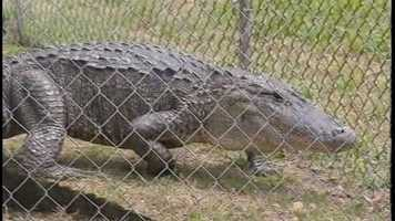 A licensed gator trapper was brought in to kill it with a bang stick.
