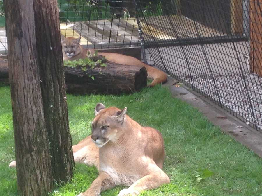 Meet Neiko and Lucy, the latest additions to Gatorland. They are a cross between Texas Cougars and Florida Panthers.