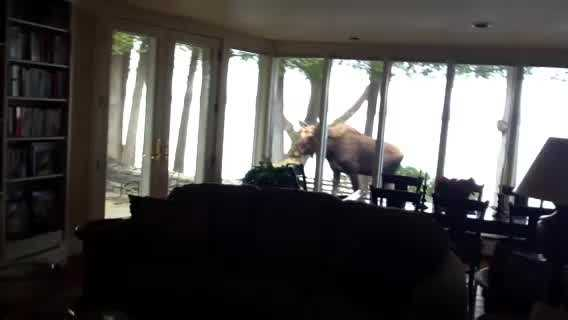 Early Wednesday morning Shelburne resident, Jane Shearer, found a sizable moose walking across her patio. She shared the video with NewsChannel 5. Shearer said the moose returned Thursday afternoon.