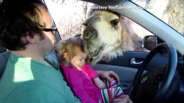 Camel tries to eat kid