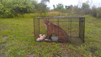 The residents of the Vizcaya Heights Condominiums in the up-scale Vizcaya neighborhood got quite a surprise when a coyote trap instead trapped a large bobcat.