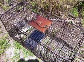 John Jeffcoat, the president of the homeowner's association, said residents had reported at least two separate sightings of coyotes in recent weeks near the condo development's dog run.