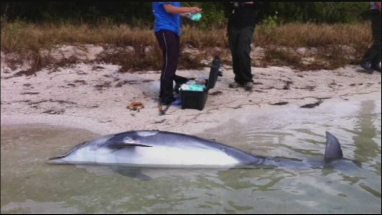 Several more dolphins wash up dead in Brevard County, and now experts are looking into the cause.