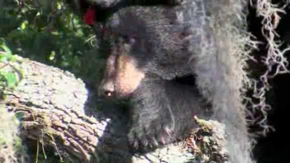 Bear in Tampa tree 4.jpg