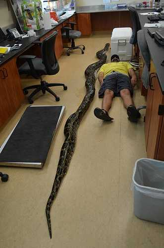 Wildlife officials say a Burmese python nearly 19 feet long has been captured in South Florida.