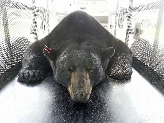 The largest Florida black bear ever captured has been relocated from the Ocala National Forest to