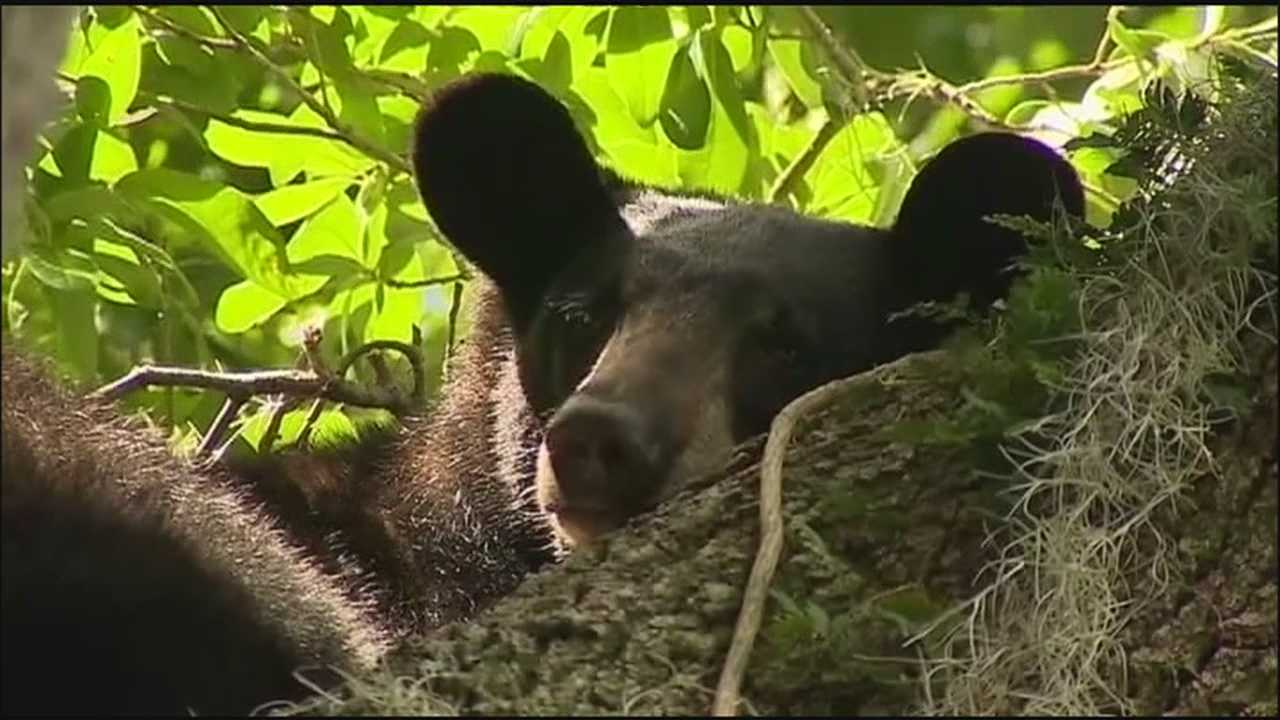 Neighbors along Edgewater Drive were surprised to see a Florida black bear that climbed a tree early Monday.