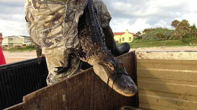 Alligator in Ormond Beach.jpg