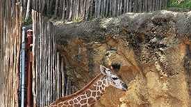Mosi the giraffe.jpg