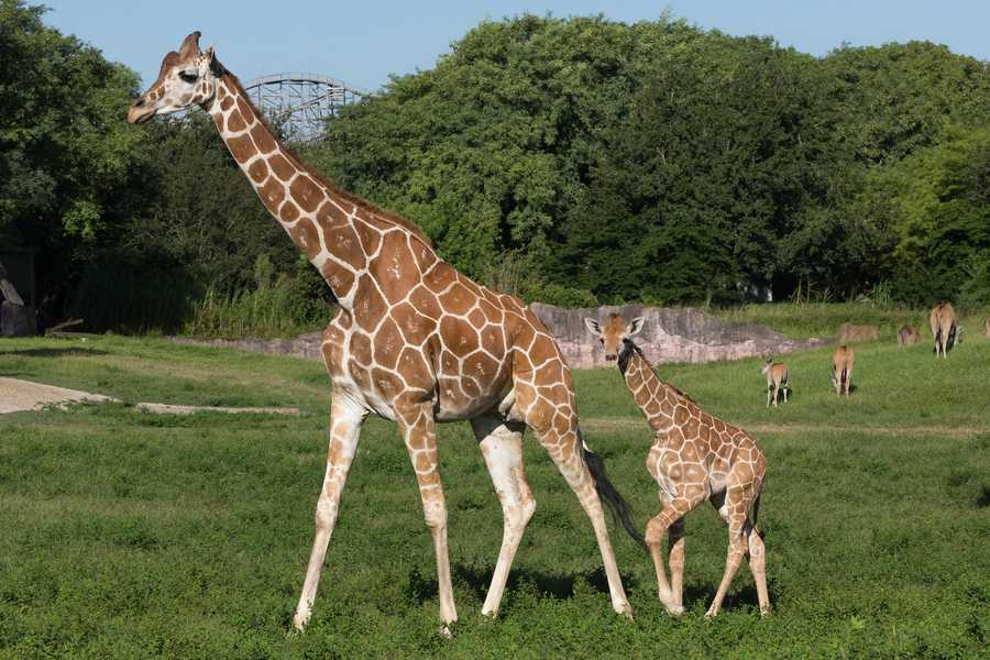 Two reticulated giraffes are making their debut at Busch Gardens.