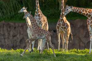 The baby giraffes are now on the Serengeti Plain at the park.