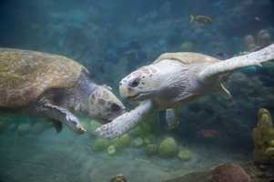 Two female loggerhead sea turtles were moved into SeaWorld Orlando's turtle habitat, TurtleTrek, on Wednesday.