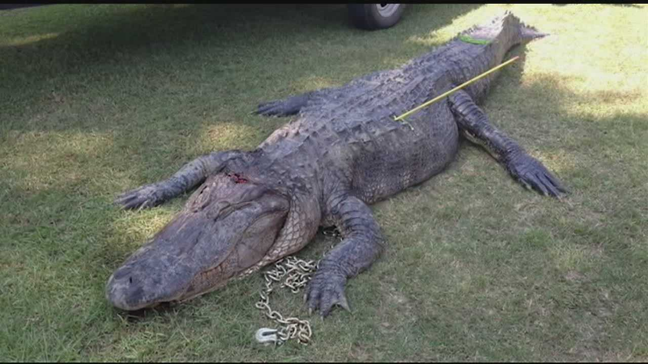 Mississippi's first weekend of alligator hunting season is over.